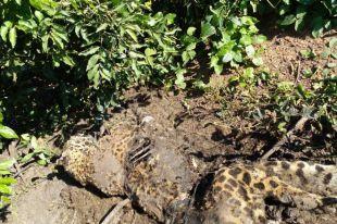 Onça pintada encontrada na Serra do Amolar foi morta a tiro e PMA intensifica fiscalização